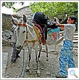 Preparing the mule