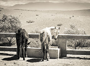 Donkey and mule at Jarjeer Mule and Donkey Refuge, Morocco